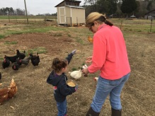 feeding the chickens